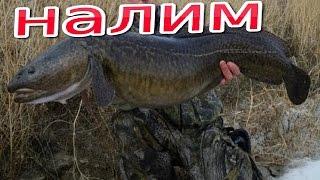 spearfishing for burbot. подводная охота на налима.(Налим который пытался убежать).(spearfishing for burbot. подводная охота на налима.(Налим который пытался убежать). ▱▱▱▱▱▱▱▱▱▱▱▱▱▱▱▱▱▱▱▱▱..., 2016-07-08T10:54:06.000Z)