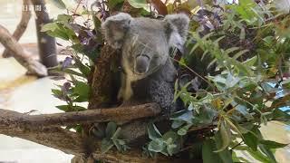 多摩動物公園(東京都日野市)に9日、横浜市立金沢動物園から2頭のコ...