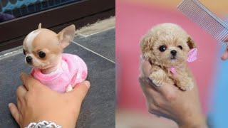 Cutest Teacup Puppies Video Compilation || Funny and Cute Dog #6