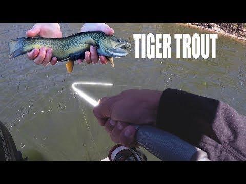 50+ Tiger Trout! | Willow Springs Lake, Arizona