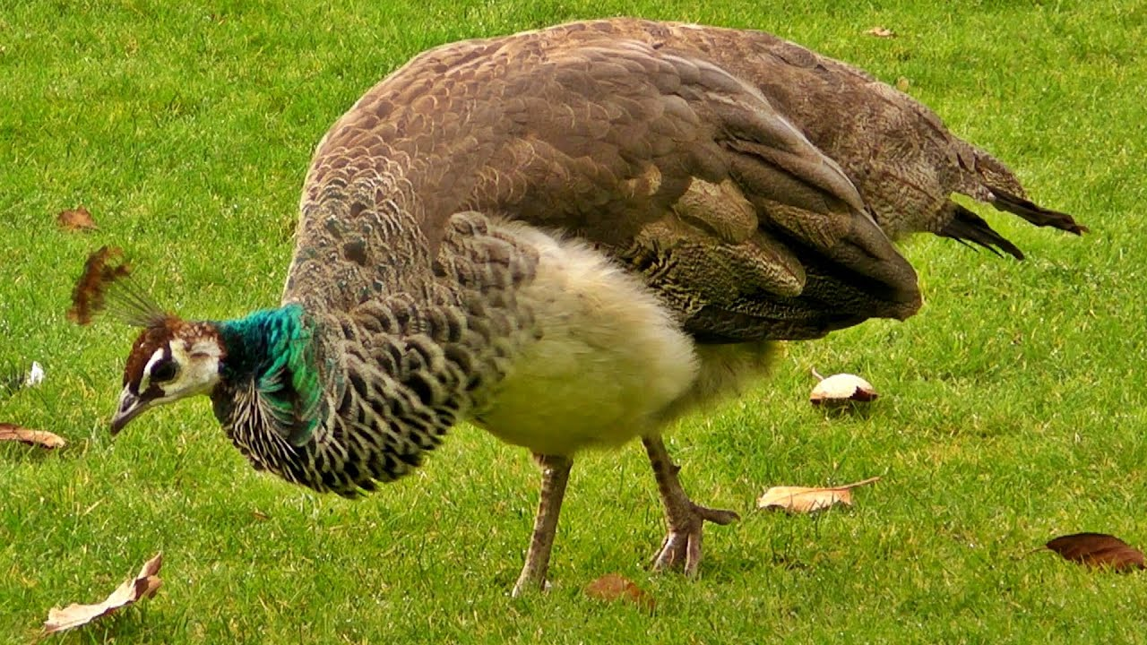 Image result for peahen