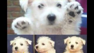 """sabre Kennel"" Criadero West Highland, Westie, Cachorros"
