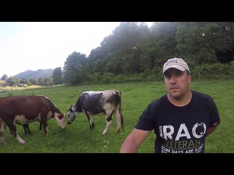 Grassfed Randall Lineback Cows | Heritage Milk Cow