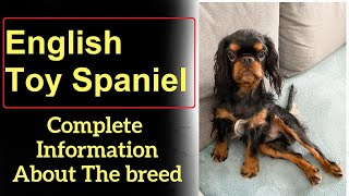 English Toy Spaniel. Pros and Cons, Price, How to choose, Facts, Care, History