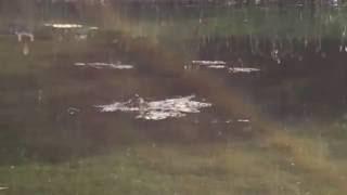 Птичка свила себе гнездо посреди озера... И не боится... Молодец! Гатчинский парк. 30.05.2016, 09:07(, 2016-11-07T08:06:28.000Z)