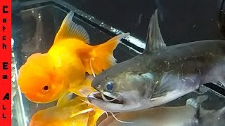 BLOB CATFISH Inhales MASSIVE GOLDFISH!!!