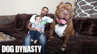 Meet 'Hulk': The Giant 175lb Family Pit Bull(Meet 'Hulk': The Giant 175lb Family Pit Bull SUBSCRIBE: We upload a new incredible video every weekday. Subscribe to our YouTube channel so you don't ..., 2015-03-03T12:09:56.000Z)