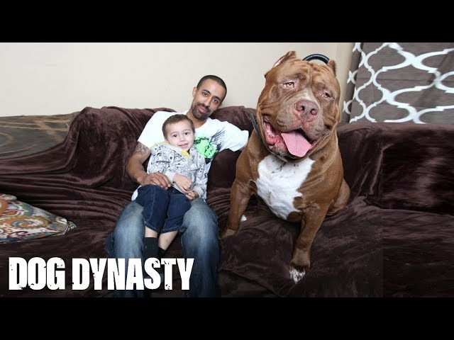 VIDEO: World's largest pit bull named 'Hulk' is toddler's