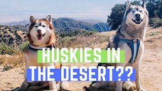 I TOOK MY SIBERIAN HUSKIES TO THE DESERT | Huskies in Joshua Tree