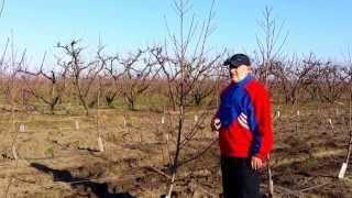 Repeat youtube video Κλάδεμα Ροδακινιάς 1 έτους σε Μονόκλωνη Διαμόρφφωση - Πυκνή Φύτευση