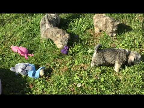 Macy's schnoodle puppies 10-14-18