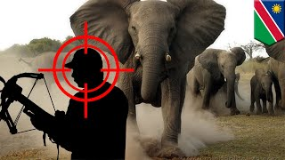 When animals attack: big game hunter trampled by charging elephant during trophy hunt - TomoNews