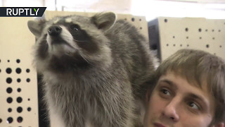 Raccoon city  Owners show off their domesticated animals in St  Petersburg