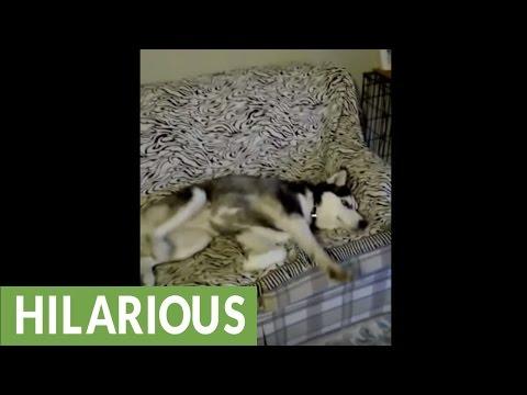 Siberian Husky sleeps in totally weird position