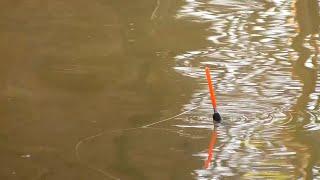 Активный клёв Рыбы много Рыбалка на поплавок Поклёвки крупным планом