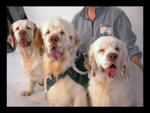 Westminster breed: Clumber Spaniel