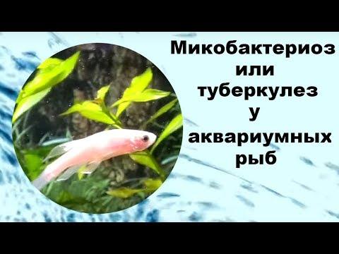 Микобактериоз или туберкулез у аквариумных рыб.