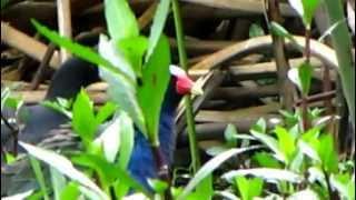 American Purple Gallinule - Porphyrio martinica - Zwergsultanshuhn-Talève violacée