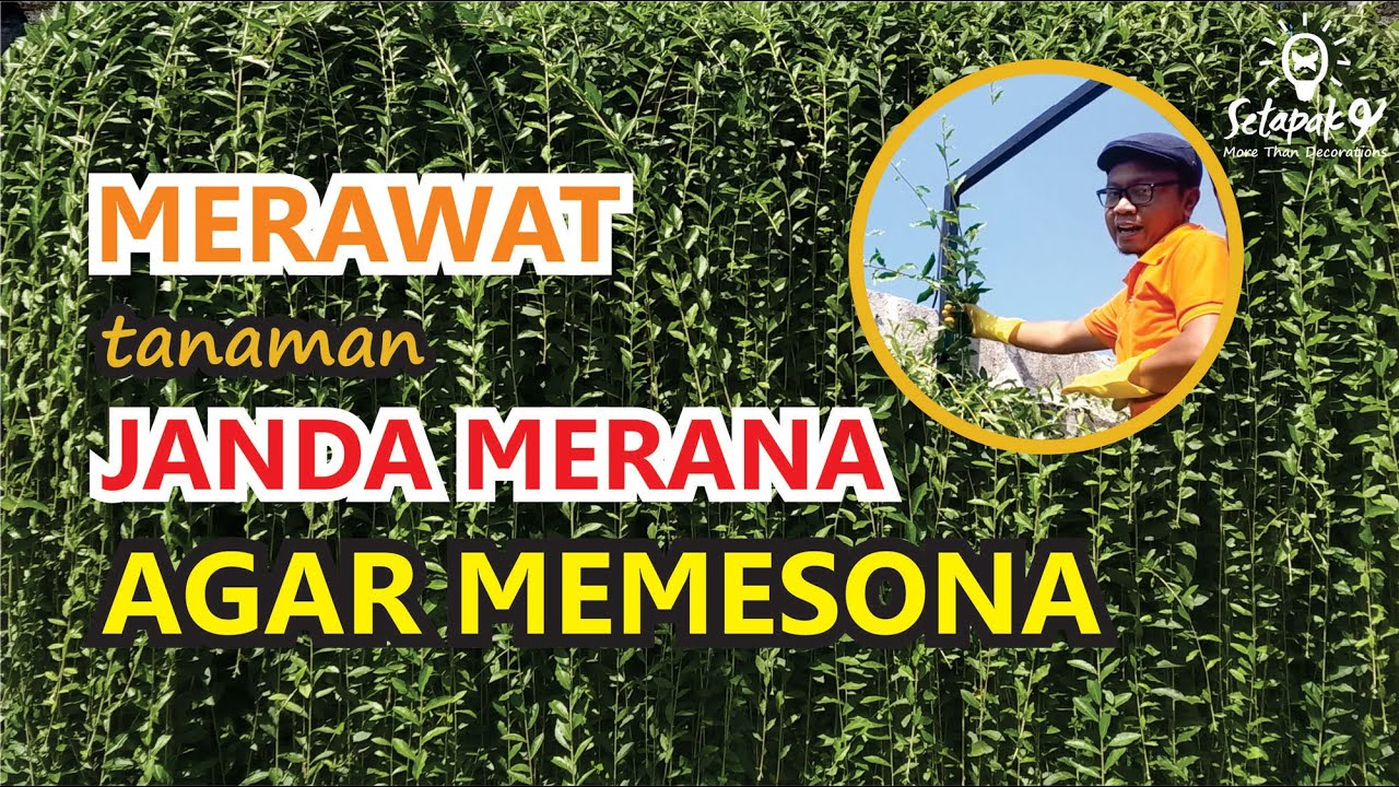 Teknik Memperbanyak Tanaman Tirai Lee Kwan Yew By Organik Tips
