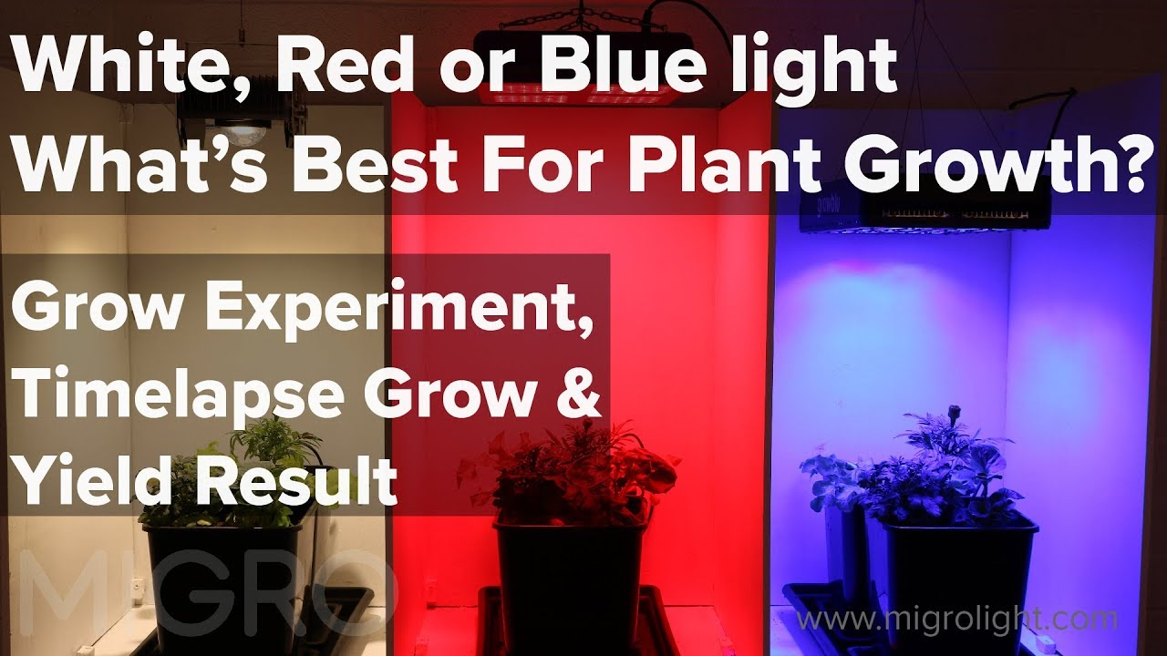 White Red Or Blue Light For Growing The Best Colour For