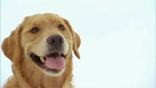 Dog Facts 101 - Golden Retriever