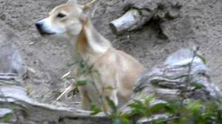 the female new guinea singing dog sings at the San Diego zoo edit: ...