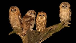 A tragic tawny owl tale with a happy ending