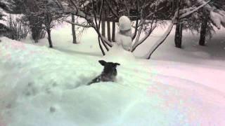 Miniature Schnauzer Dives Into Deep Snow