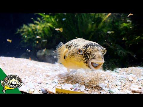 Murphy The Mbu Puffer - Aquarium Co-Op