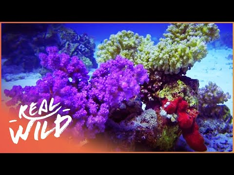 Red Sea Reefs: The World Beneath The Waves (Wildlife Documentary)   Real Wild