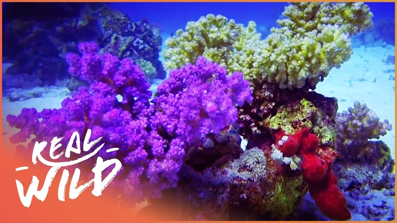Red Sea Reefs: The World Beneath The Waves (Wildlife Documentary) | Real Wild