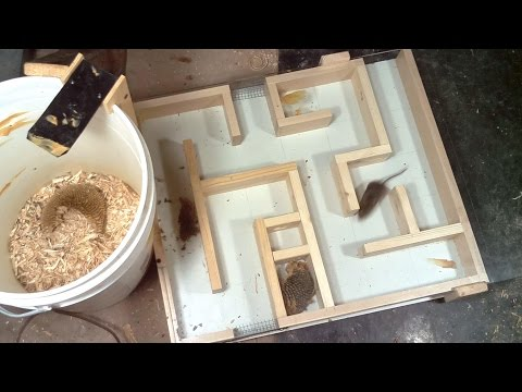 Field mouse maze experiments