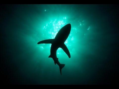 Самая безобидная акула. Акула - Катран ( лат. Squalus acanthias)