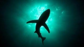 Самая безобидная акула. Акула - Катран ( лат. Squalus acanthias)(Всем привет, друзья , в этом видеоролике , вы узнаете об одной из обитательниц Черного моря - акуле Катран...., 2016-12-07T11:48:53.000Z)