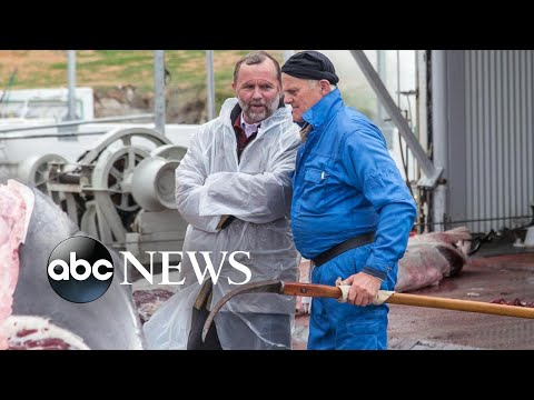 The war on whaling: Activists, industry fight over hunting the gentle sea giants