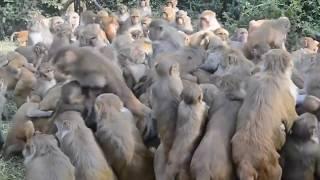 Gang of Monkey attack at Pashupatinath Nepal