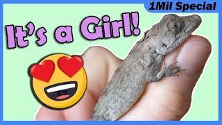 we-hatched-a-cuban-false-chameleon
