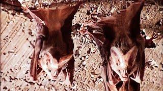 The Lesser False Vampire Bat, Megaderma spasma, search in Pohara by Dr. V.T.Ingole