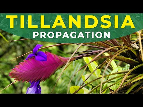 How to Propagate Tillandsia Cyanea? | Rooting process, care