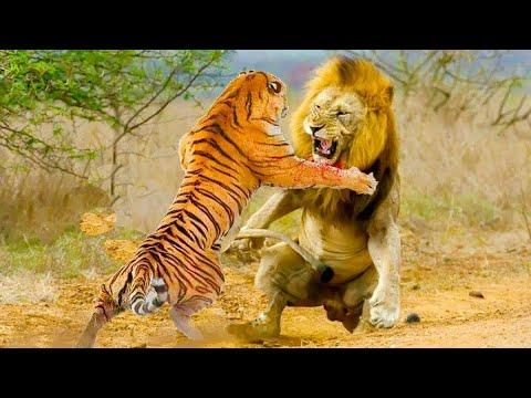 ЛЕВ ПРОТИВ ТИГРА!!! битвы львов и тигров! кто сильней?(реальные схватки)