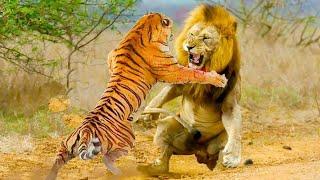 ЛЕВ ПРОТИВ ТИГРА 2!!!кто сильнее? (реальные схватки!)