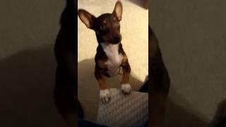 Training Chihuahua to sit