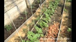 Выращивание огурцов. Огурцы в парнике.(, 2013-09-13T18:20:19.000Z)