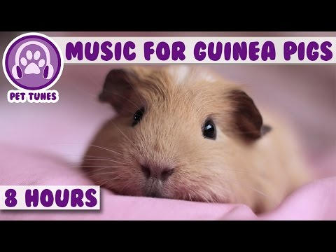 8 Hour Music Video for Guinea Pigs! Natural Stress and Anxie