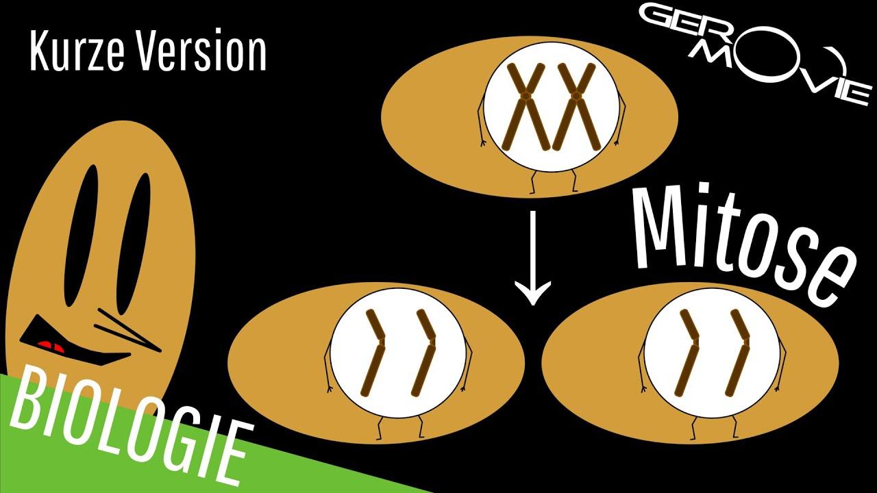 ▻ Mitose - verständlich erklärt | Kurze Version - YouTube