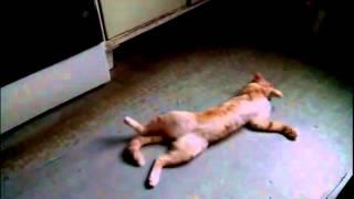 Кот валяется на полу облитому валерьянкой
