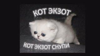 Кот Экзот Снупи Snoopy, ну что за прелесть!