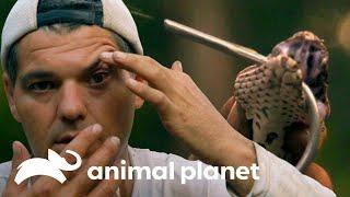 Ataque mortal de serpente direto nos olhos! | Perdido na Ásia | Animal Planet Brasil