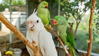 Super Cute Talking Parrots