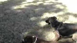 German Shepherd Vs Boxer Part 2